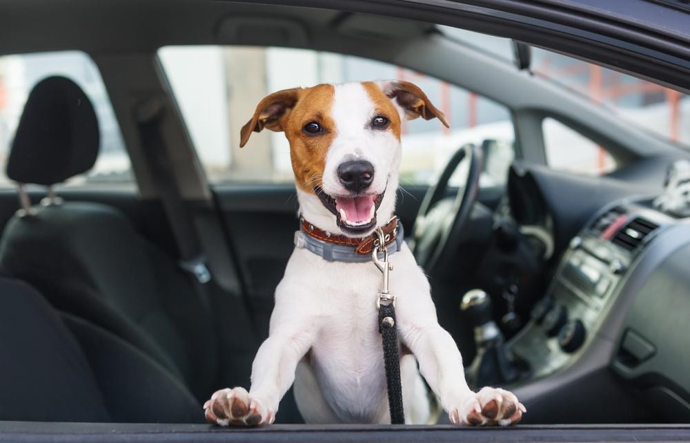 cute dog posing in a car window